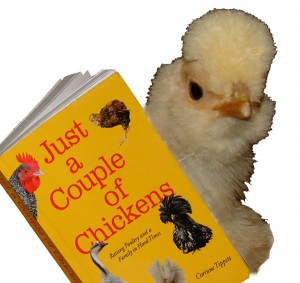 Buff Polish Chick with Book
