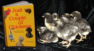 Cuckoo Maran Chicks at one day old and the book